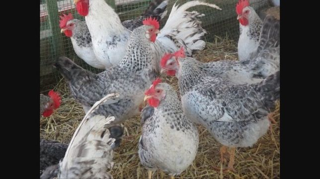 цыплята кобб 500,фоксичик,мастер грей,несушка Харьков - изображение 2