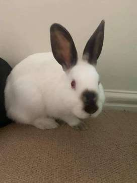RABBITS FOR SALE NEWZEALD WHITE AND CALIFORNIAN 2 T0 10 MONTHS OL