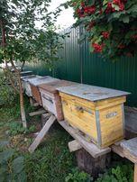 Продам пасіку, вулики, бджіл