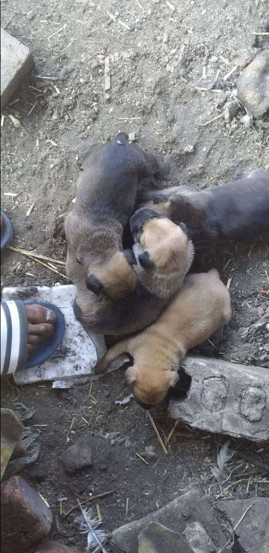 Puppies for Sale 0