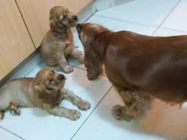 Golden cocker spaniel puppies for sale