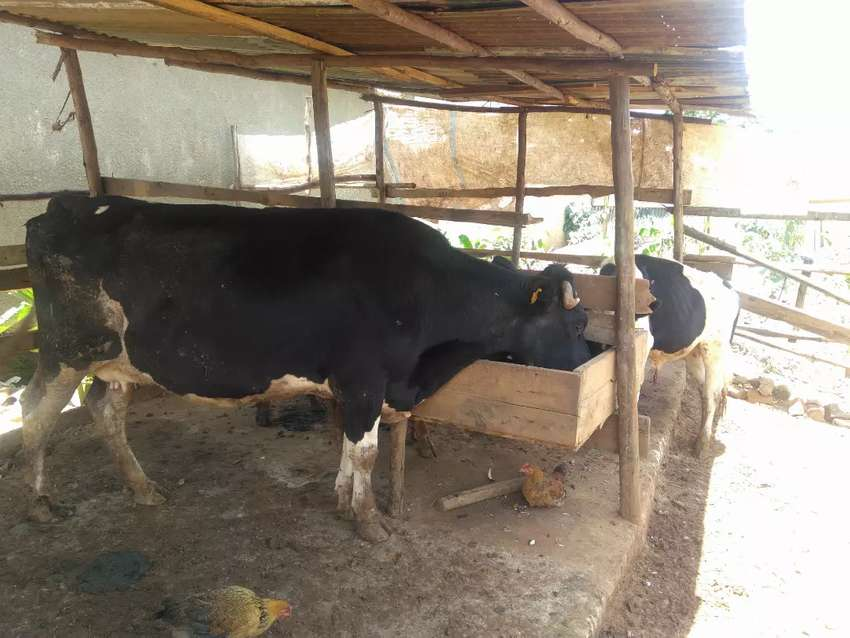 Fresian  cow for sale 0