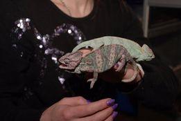 Продам очень красивых ящериц хамелеона