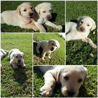 Image of Golden Labrador Puppies