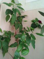 """Цветок """"Китайская роза"""""""