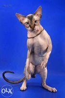 Голубоглазый кот ищет кошечку для продолжения рода.