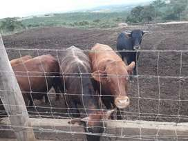 Cattle Cows for sale