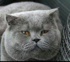 Вязка опытного кота голубого окраса