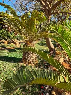 Cycad Collection