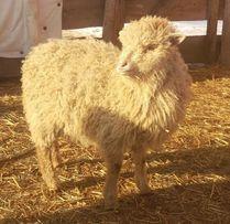 Owieczka Przepiękna młoda jasna