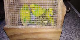 Show Budgies for sale x 6