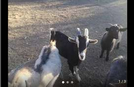 Billy goats for sale