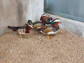 Ornamental Ducks Pairs R2500 a pair