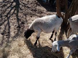 Sheep & Cow's for sale