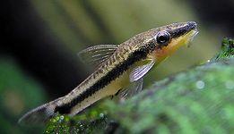 Otosek Otos Przyujściowy glonojad ryba na glony