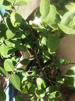 Плодоносяший лимон лемон ( черенки для прививки)