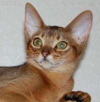 Абиссинские котята – маленькие пумы