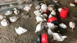 Broiler chickens for R37 1.9kg
