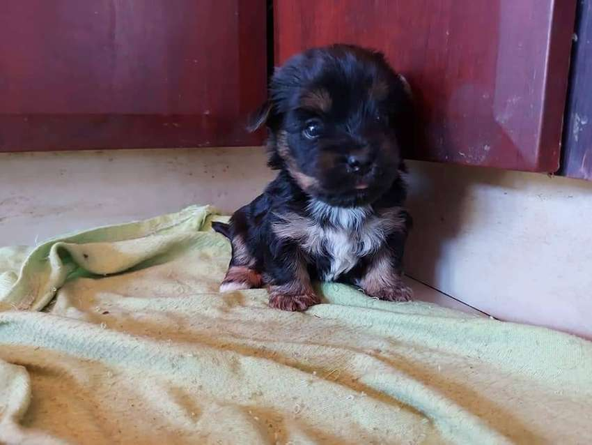Beautiful puppy Yorkie available