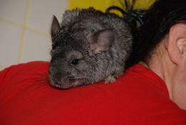 Серые Шиншиллы ( gray Chinchilla standart) - ручные малыши
