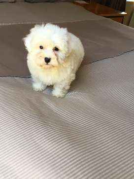 Adorable Maltese Poodle puppies
