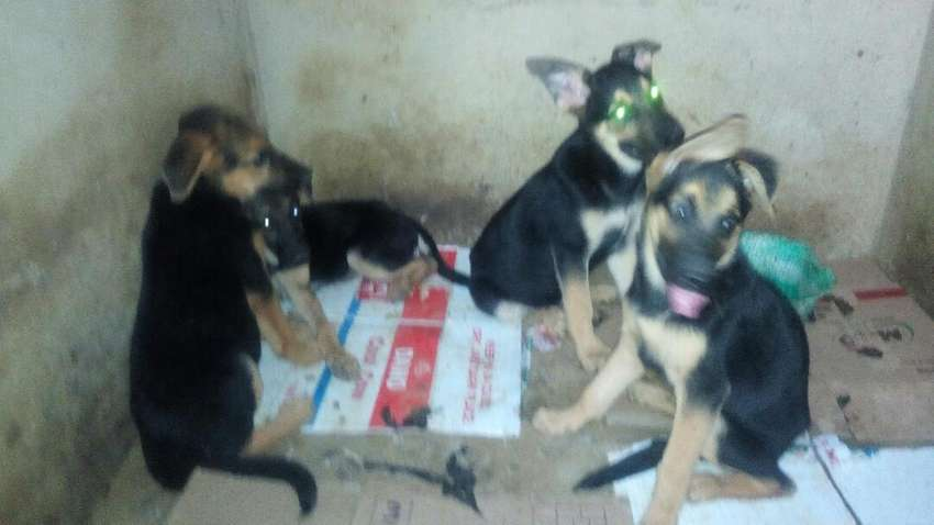 German Shepherd puppies forsale 0