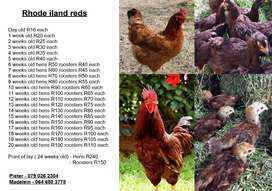 Vaccinated Rhode island red