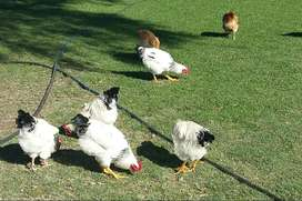 Free range chickens  /  Roosters