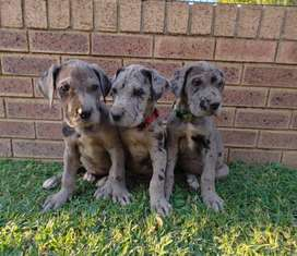 Three Giant German Bloodline Purebred Great Dane Puppies for sale
