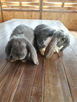 Кролик/французький баран
