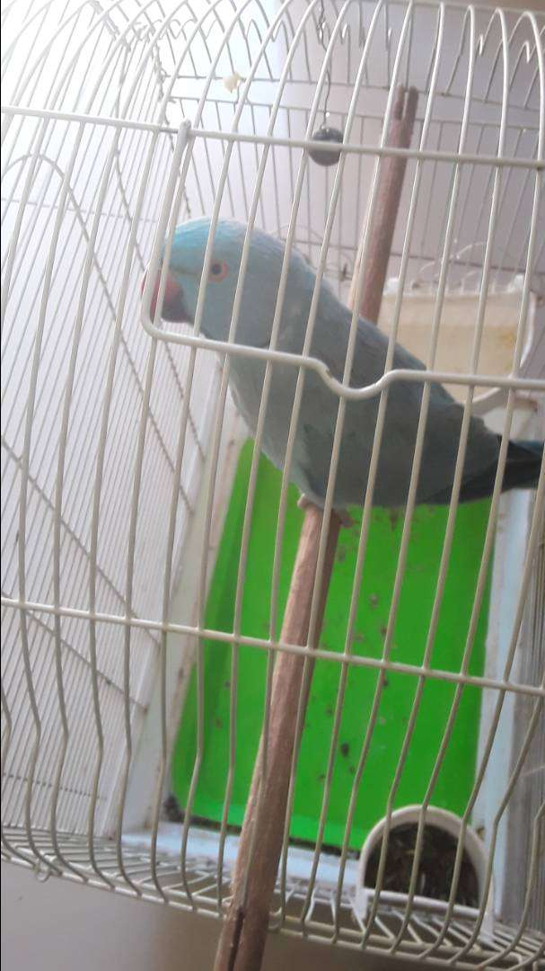 ringneck with cage for sale 0