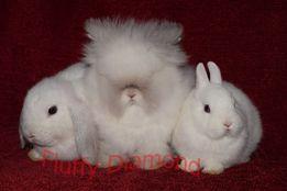 Вислоухий баранчик. Гермелин, Настоящая Ангора.Кролики из питомника.