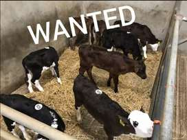 Dairy Bull calves wanted