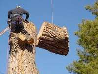 Image of Tree felling
