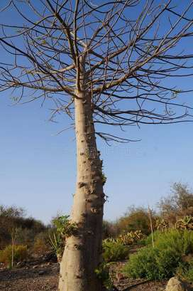 Baobab Trees for sale