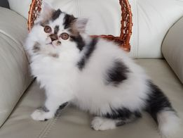 Шотландский прямоухий котик