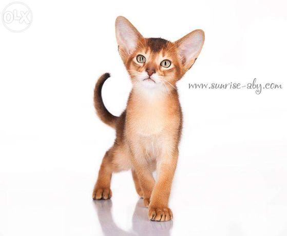 Абиссинский котенок - американский тип Киев - изображение 5