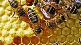 Серая горная кавказская пчела пчеломатки и пчёлы F1