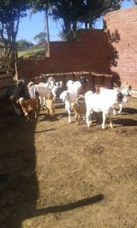 Image of goats for sale