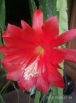 кактус регулярно цветущий