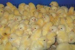 Суточные цыплята НА КОРМ кошкам, совам, фреткам, змеям и др.