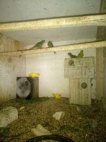 новозеландські папуги