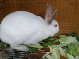 RABBITS FOR SALE NEWZEALD WHITE AND CALIFORNIAN 2 T0 10 MONTHS  OLD