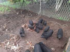 25 black pigs for sale