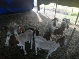 8x Young Boer goat Ewes, ready for Ram, R1900 each.