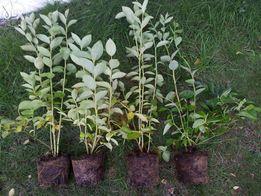 Borówka Amerykańska sadzonki, odmiana Nelson sadzonka borówki CAC