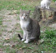 Отдам полосатого кота, 1,5 года