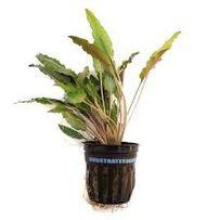 Cryptocoryne wendtii green - roślina akwariowa