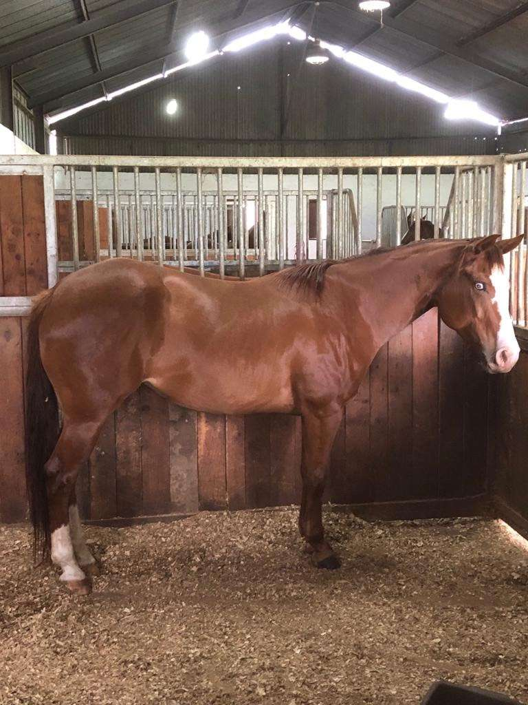 5 Year Old Quarter Horse Mare For Sale 0