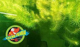 Roślina Rogatek Sztywny na glony akwarium, krewetki - 5 szt. W-wa
